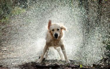 Springfield photo of Dog shaking water off